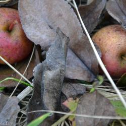 äpfelimgras_2