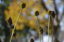 sonnenhutverblüht