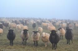 Schafe5
