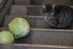 Katze und Kohl